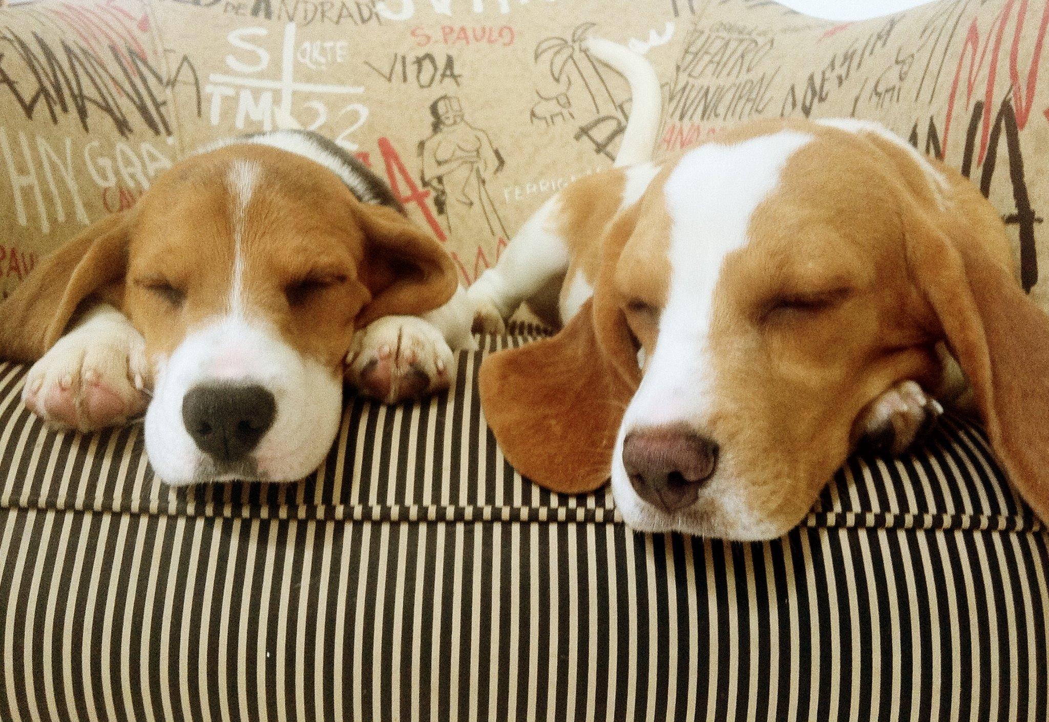 EBC Resgate dos cães beagles não foi premeditado diz ativista #73441E 2048x1410 Aqui Não é Banheiro De Cachorro