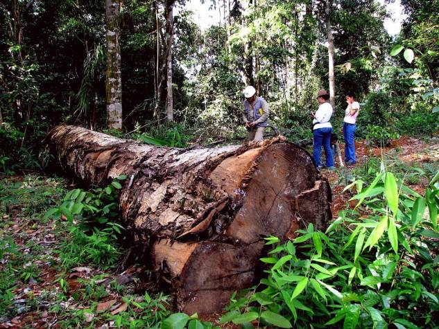 Pessoas observam árvore derrubada por madeireira na Floresta Amazônica