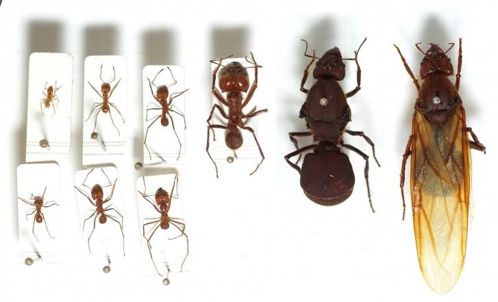 Espécies de formigas
