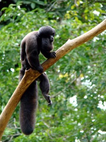 Macaco em extinção,  Cuxiú-preto
