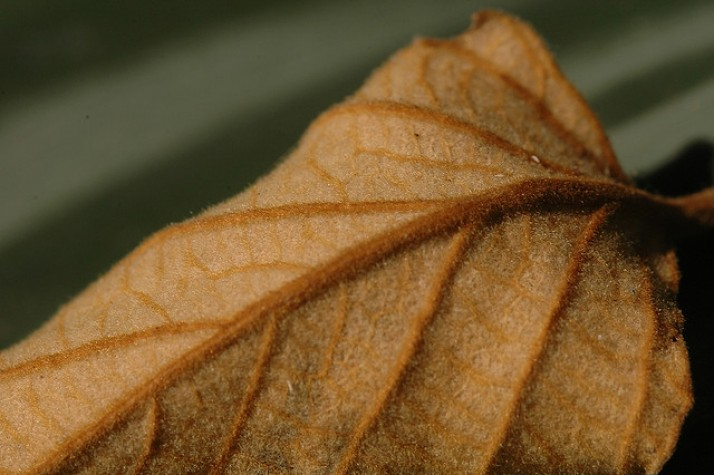 Folha seca
