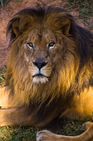 Leão do IR