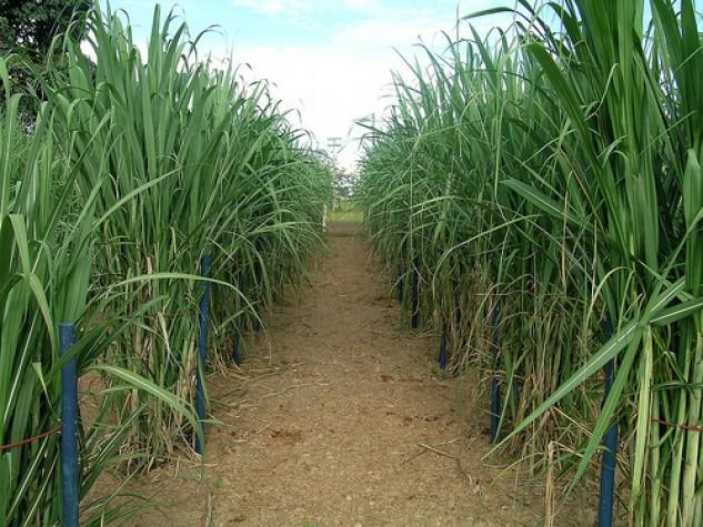 Quantidade de cana-de-açúcar processada em 2012 supera a do ano passado